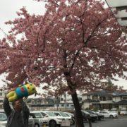 埼玉県さいたま市|満開!河津さくら by便利屋ハッピー